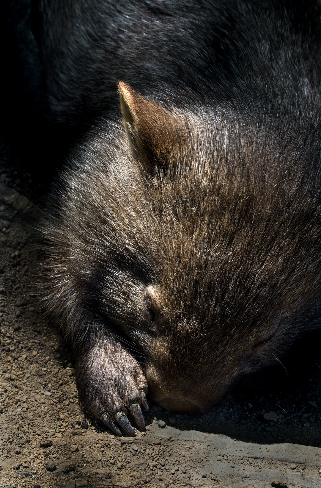 """Sleeping Wombat"". A young wombat enjoys a nap."