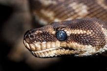 Snakes look like monsters as fungal disease spreads in eastern U.S.