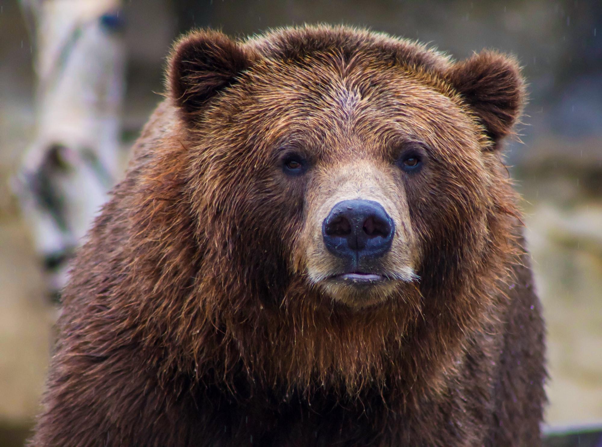 狼来了!熊出没!狮子咬屁股!大温最近动物凶猛