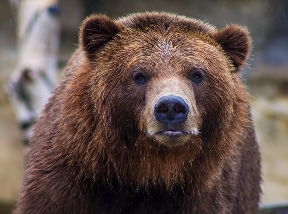 shallow focus photo of brown grizzly bear
