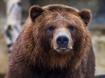 shallow focus photo of brown grizzly bear bear teams background