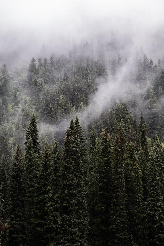 pine trees at daytime