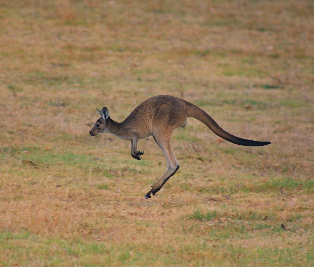 brown kangaroo jumping