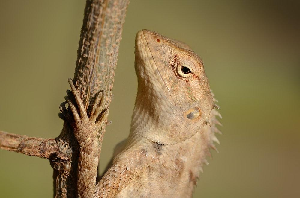 close-up photography of beige iguana