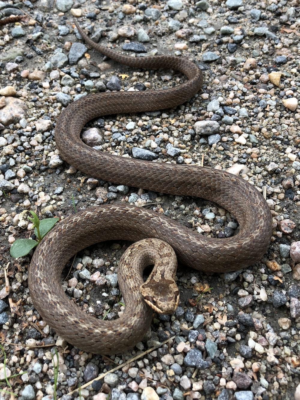 gray snake n gravel