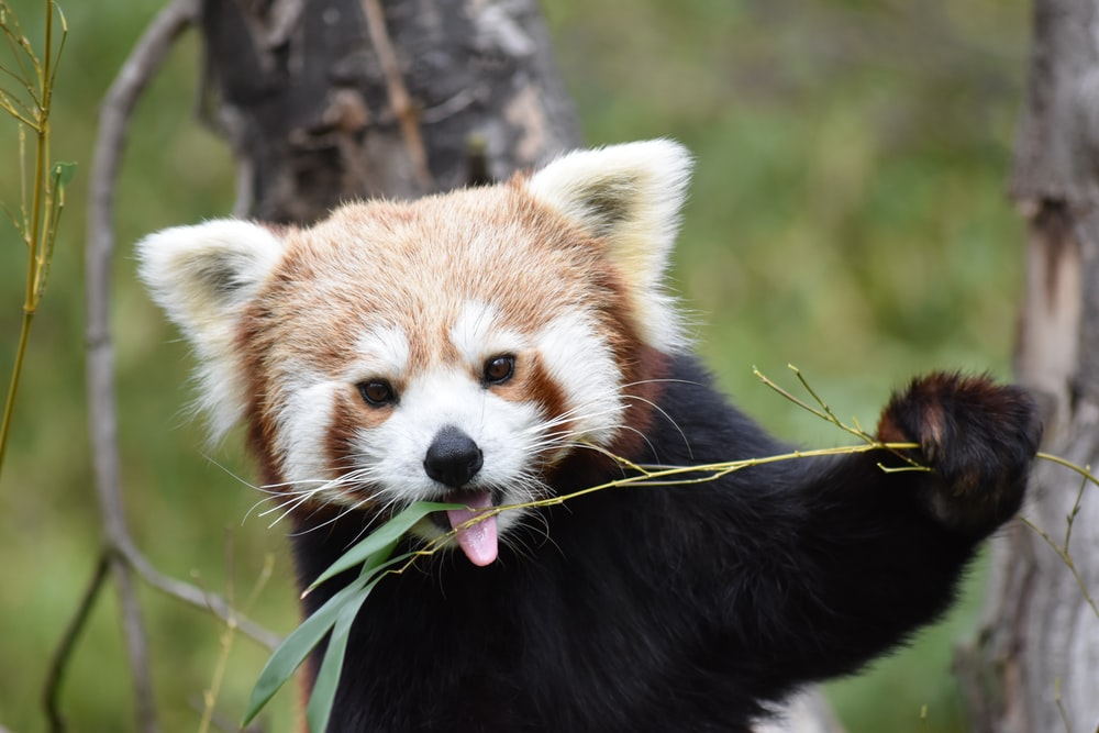close-up photography of red panda eating grass