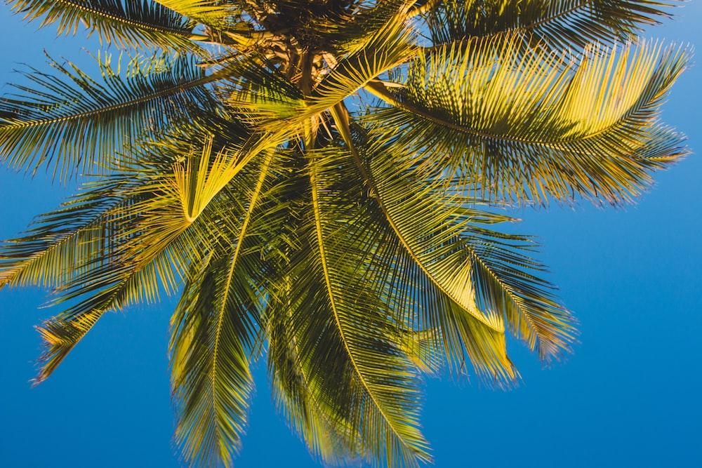 green coconut palm tree