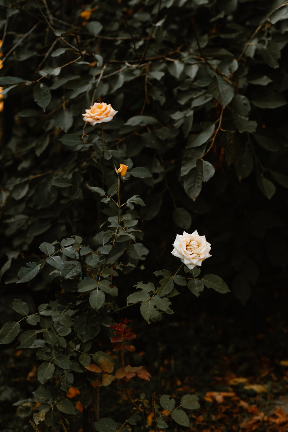 photo of yellow and white roses