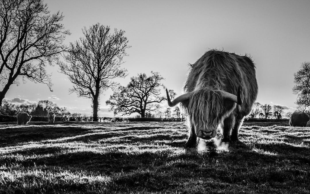 Bull in a meadow