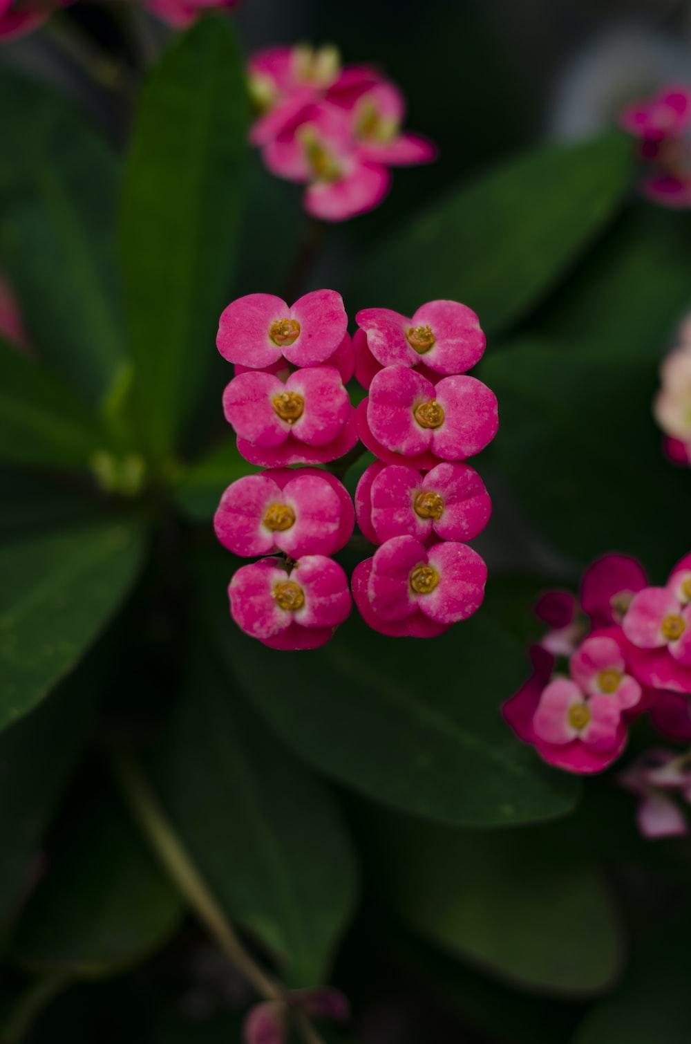 pink euphorbia milii flowers