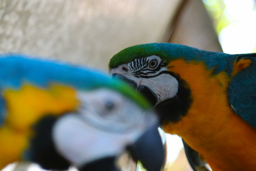 two blue-and-yellow macaw birds