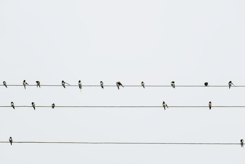 bird lot perched on electric cable
