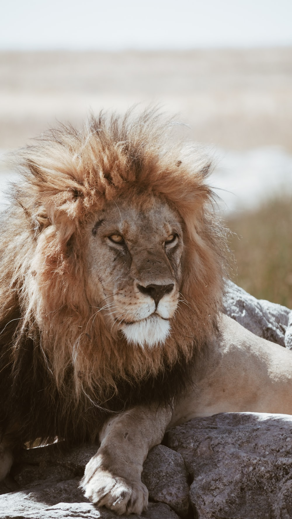 adult brown lion lying on gray rocks