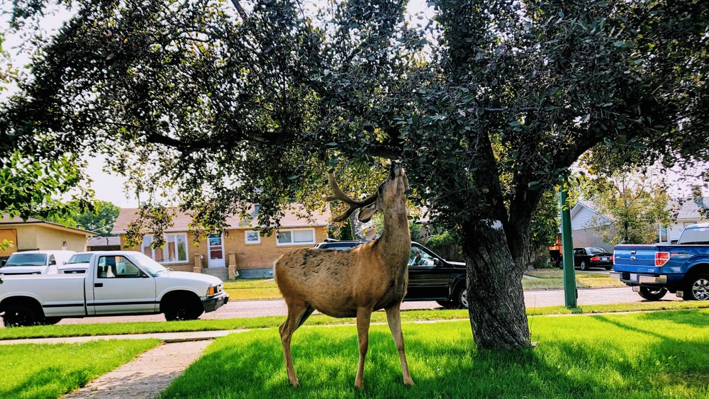 buck eats tree's leaves at the village