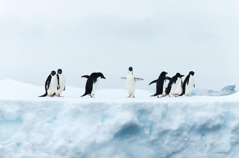 seven black-and-white penguins