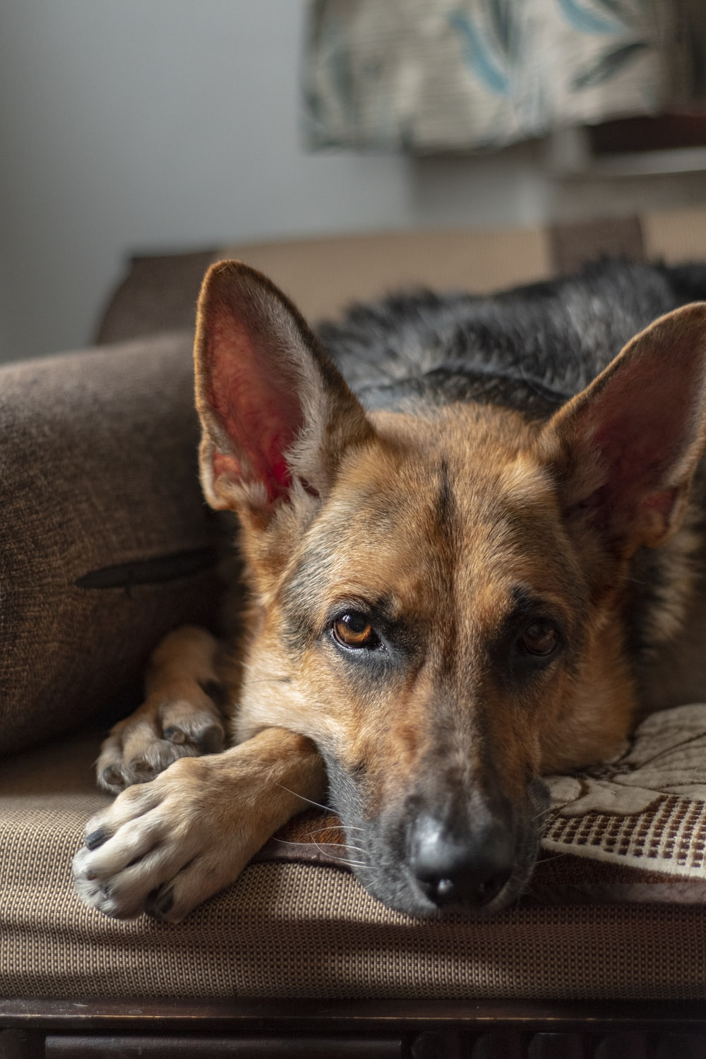 selective focus photography of lying short-coated black and tan dog