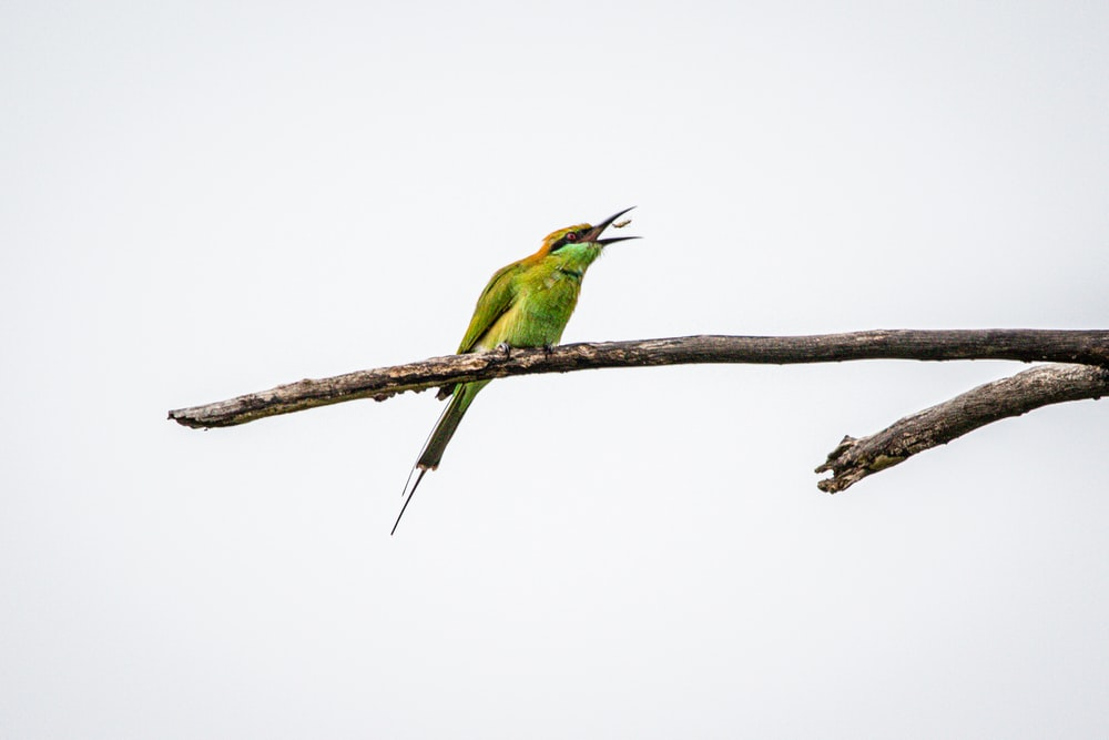 green and brown bee-eater bird on twig