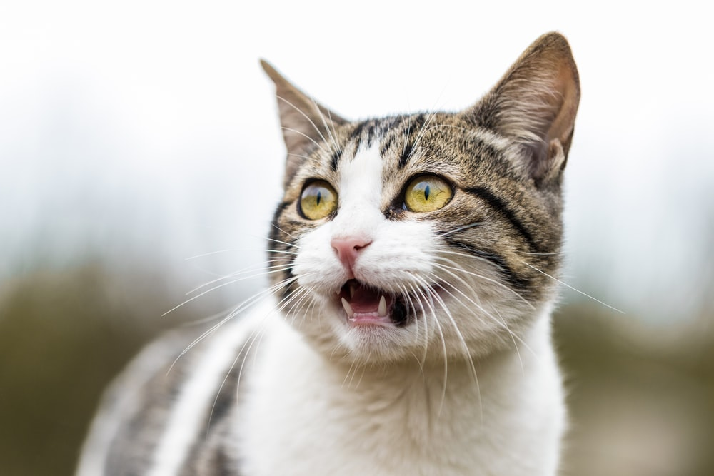shallow focus photo of white and gray cat