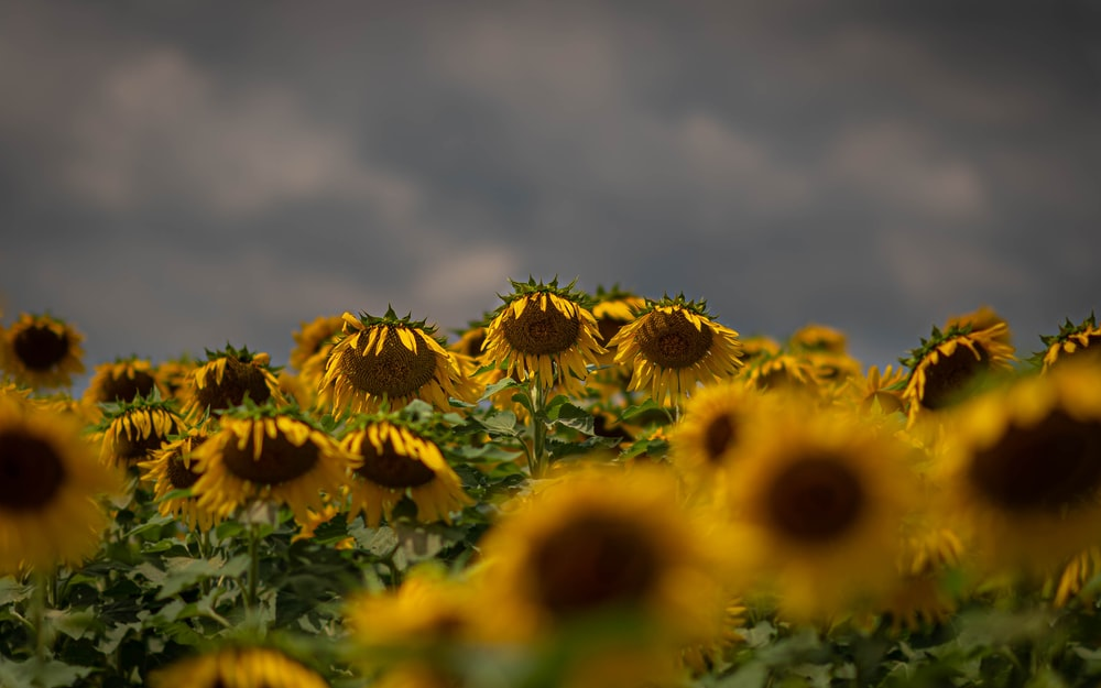 selective focus photography of yellow sunflowers during daytime