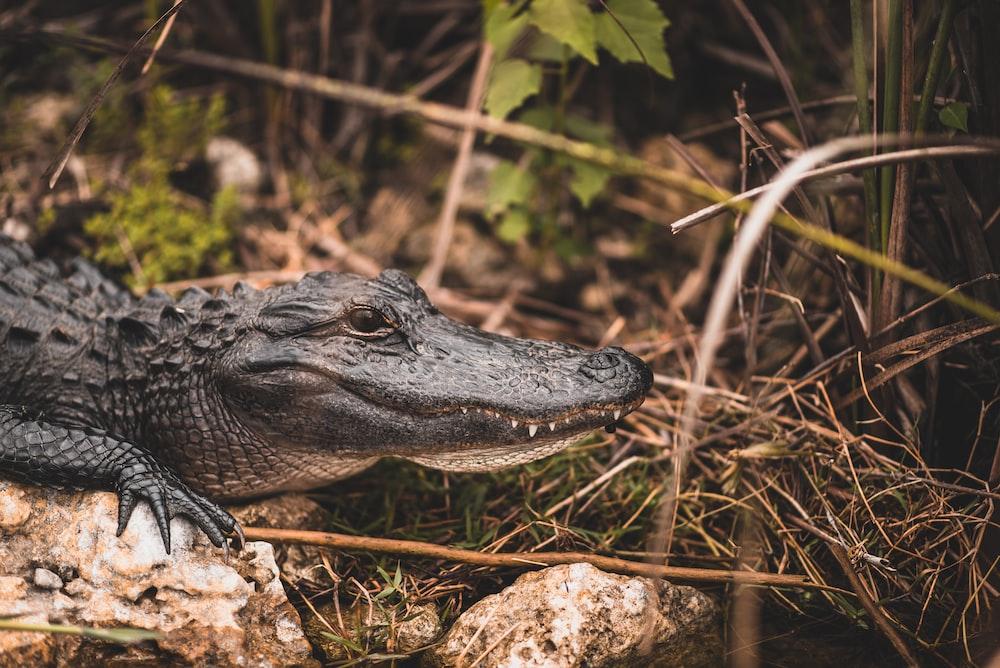 black crocodile at daytime