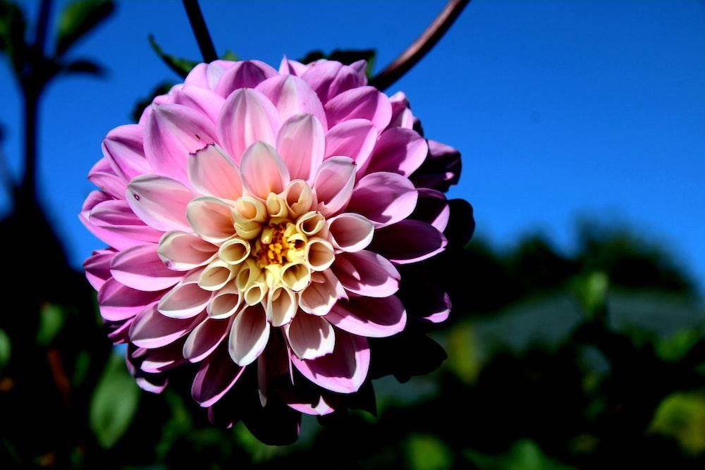 purple clustered-petaled floewr