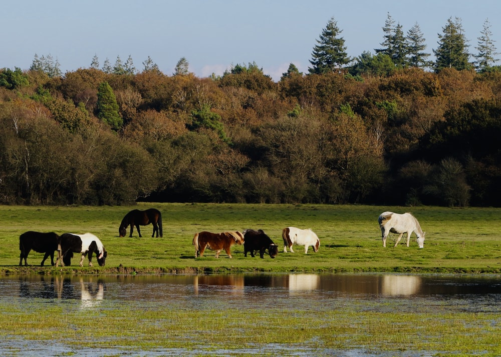 group of cows beside lake