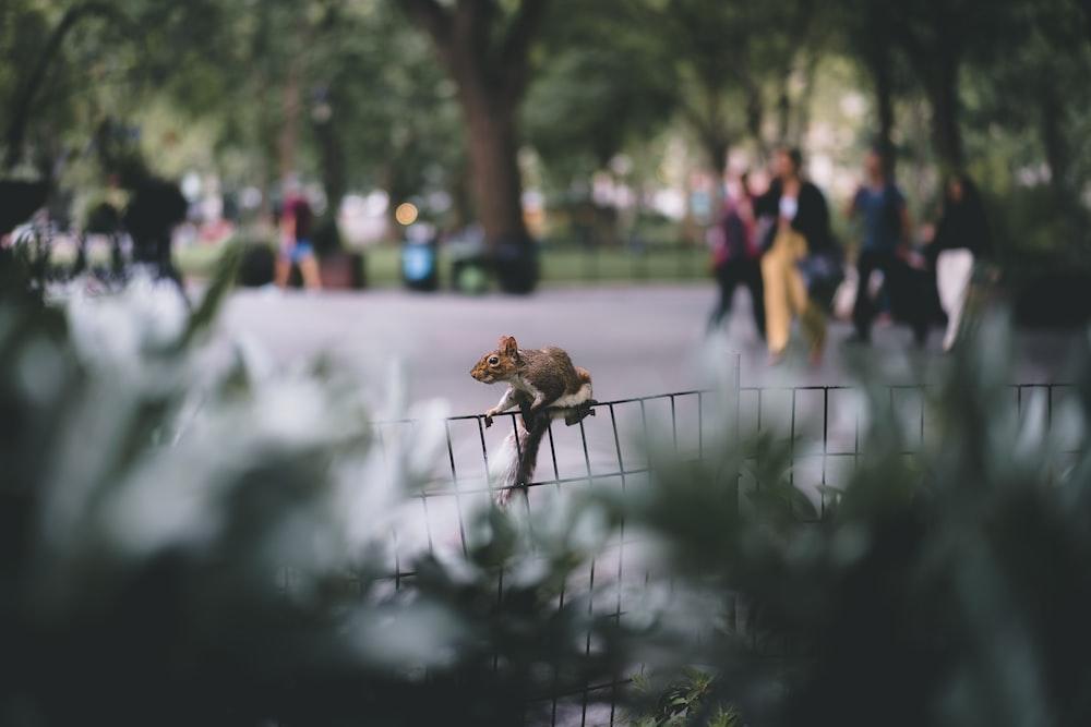 black squirrel on fence