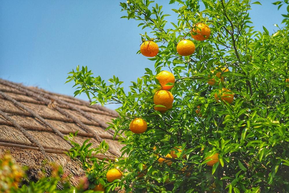lemon plant with fruits