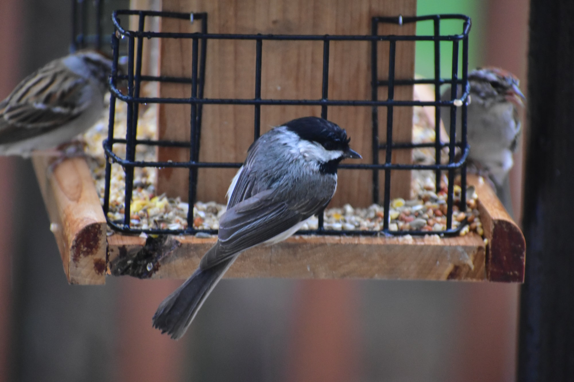 Chickadee with 2 Chipping Sparrows