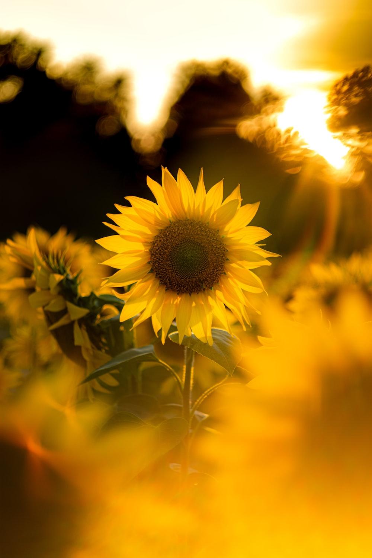 blooming yellow sunflower during sunrise