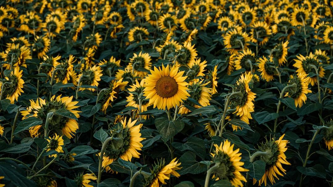 Sunflowers Wallpaper - unsplash