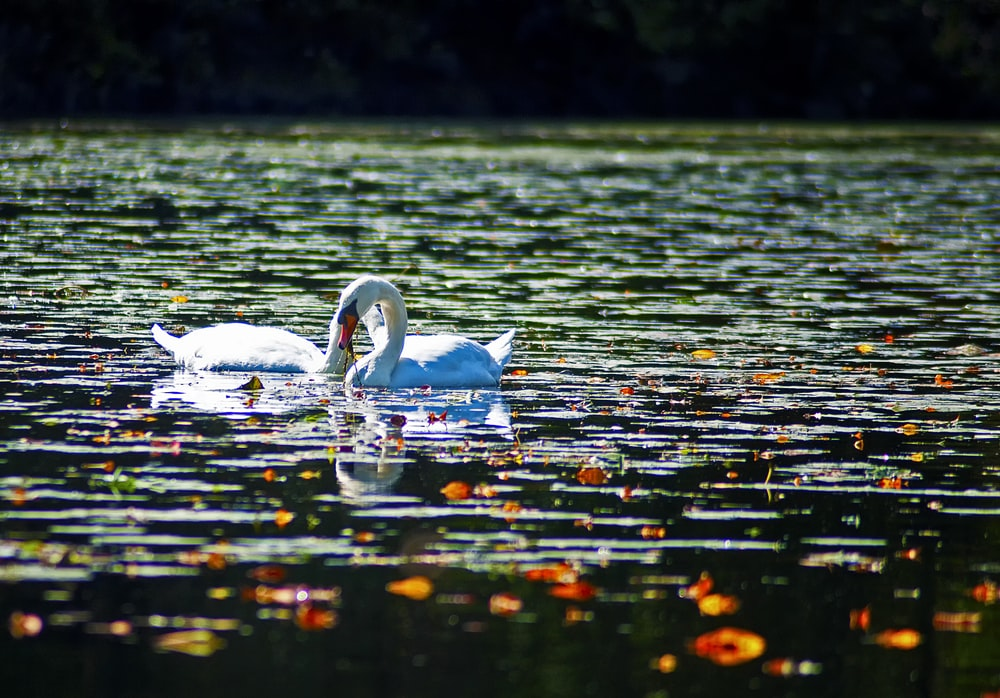 two white swan on body of water during daytime