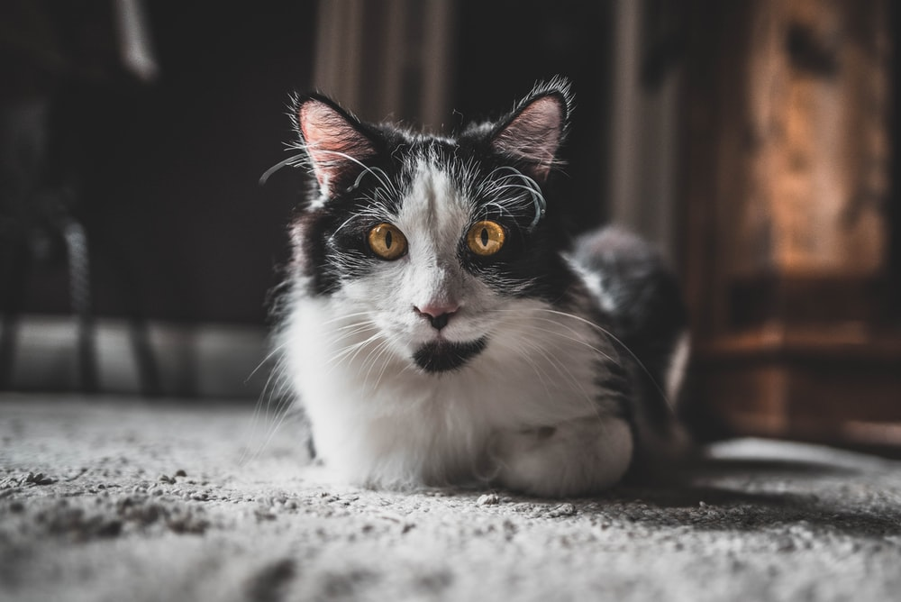short-furred white and black cat