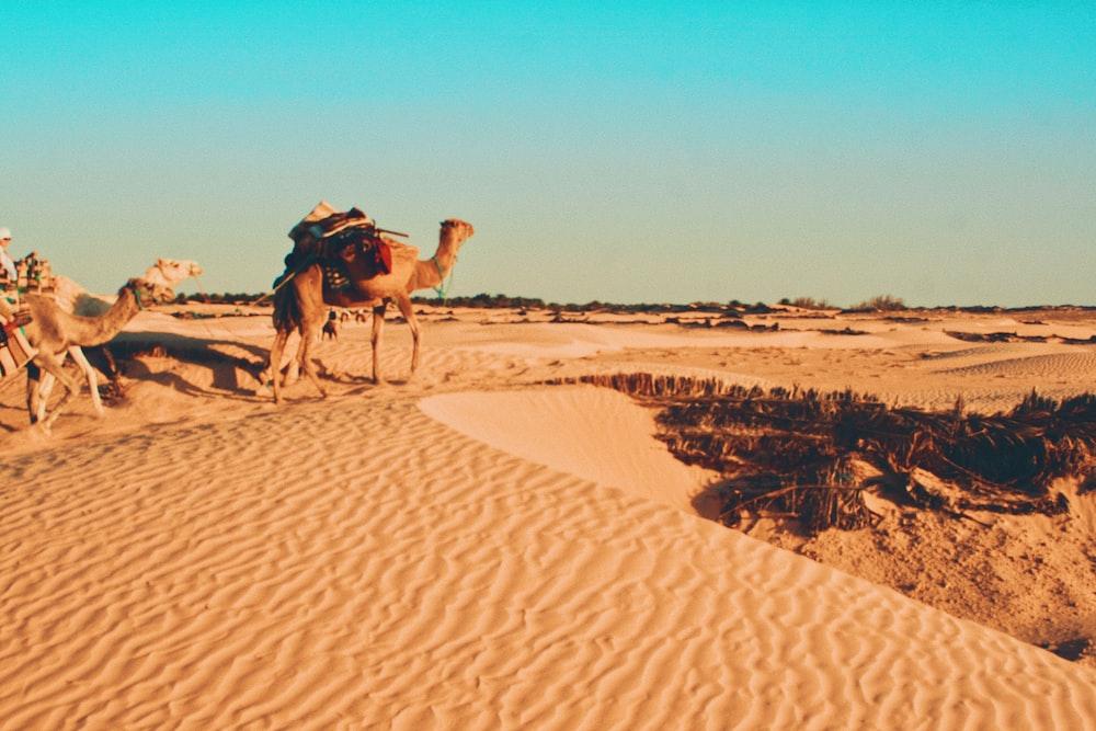 brown camel on desert during daytime