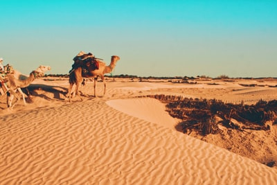 brown camel on desert during daytime tunisia teams background