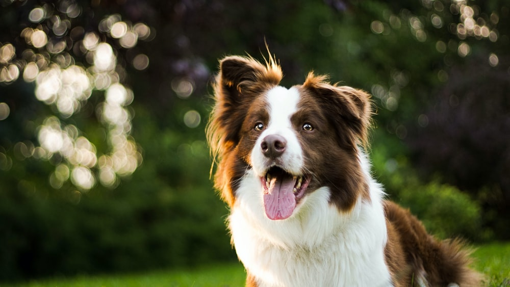 close-up photography of adult brown and white border collie