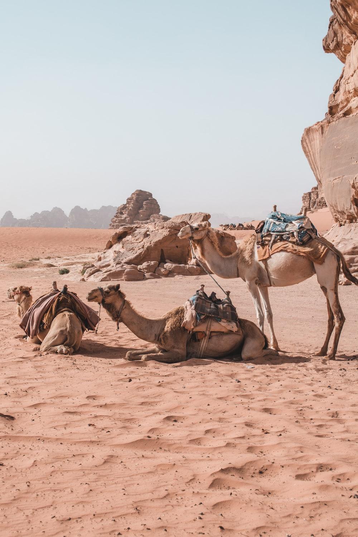three brown camels on desert during daytime