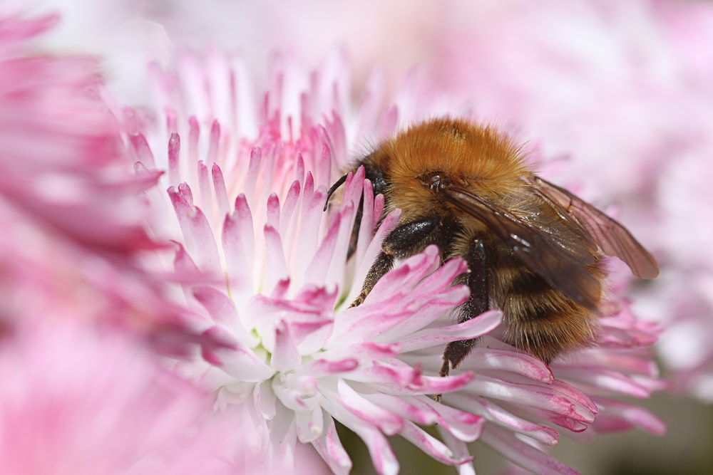 brown bee perch on pink flower