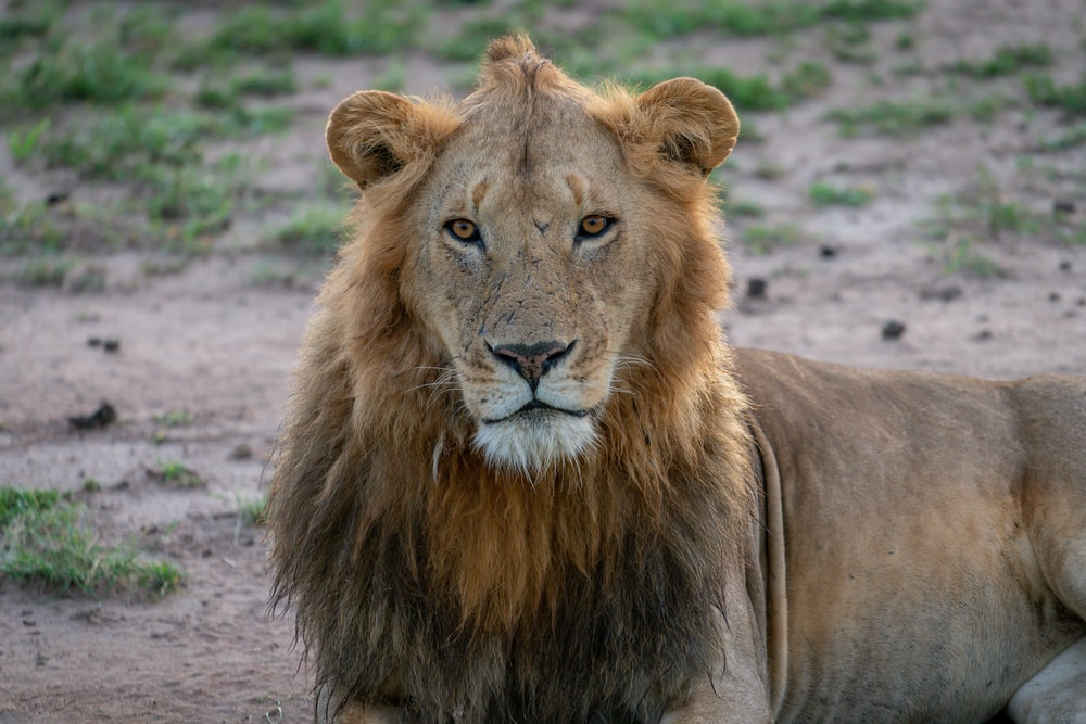 closeup photo of lion lying on sand