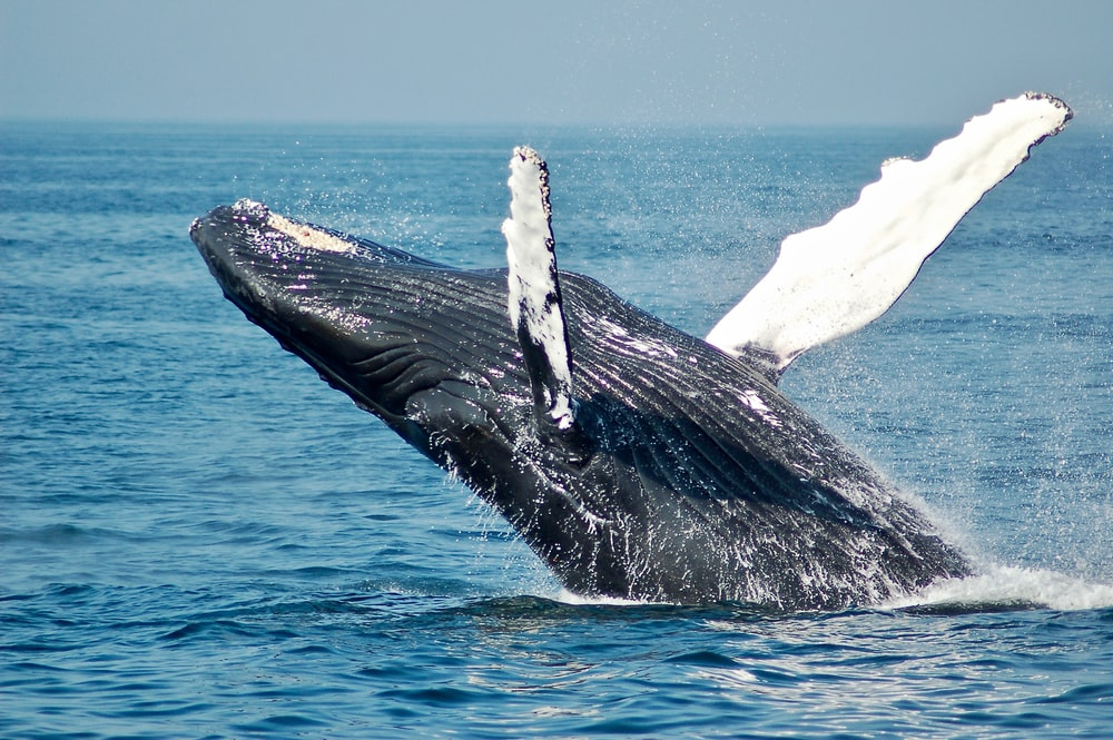 blue whale on sea