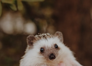 grey and white hedgehog in close-up photography