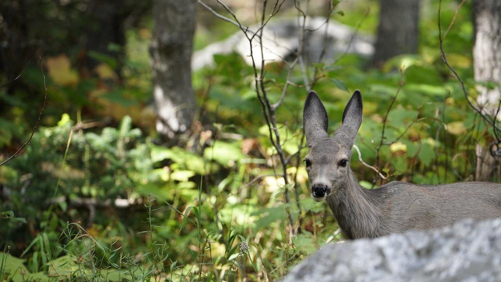 gray deer behind rock
