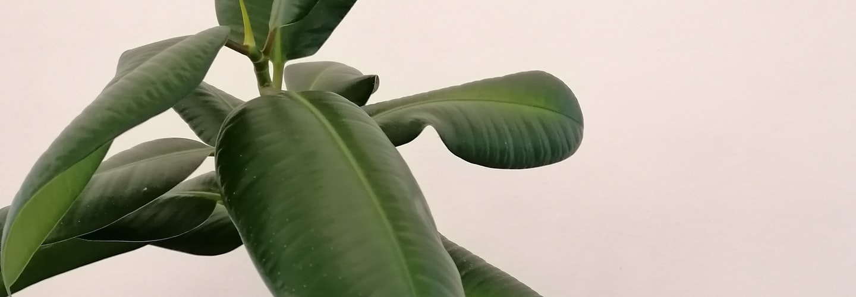 Gardening Tips How to Grow Ficus Pumila