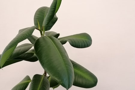 Gardening Tips How to Grow Ficus Pumila