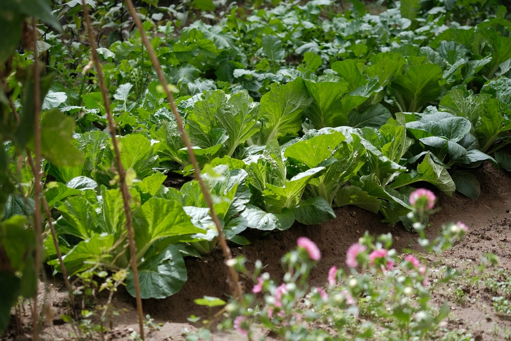 field of vegetables