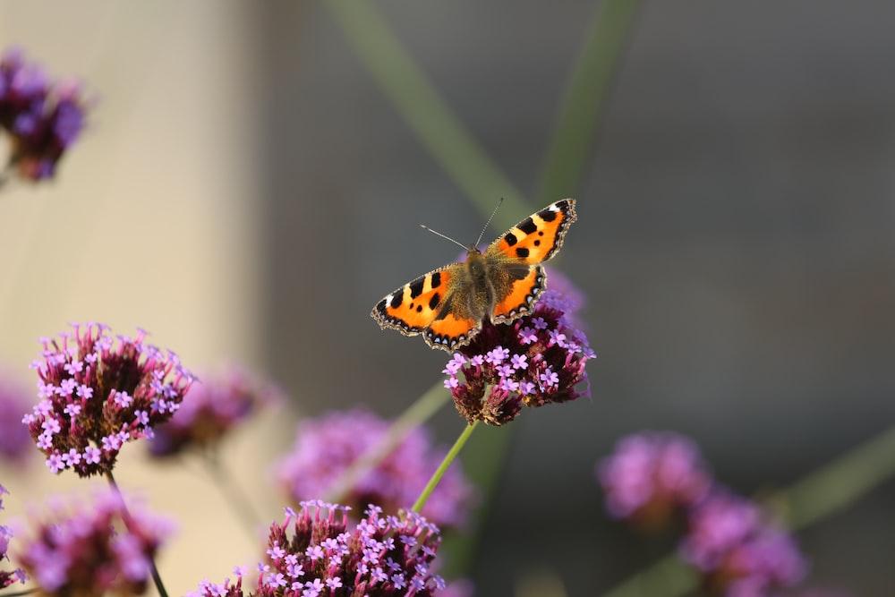 orange butterfly on purple flower
