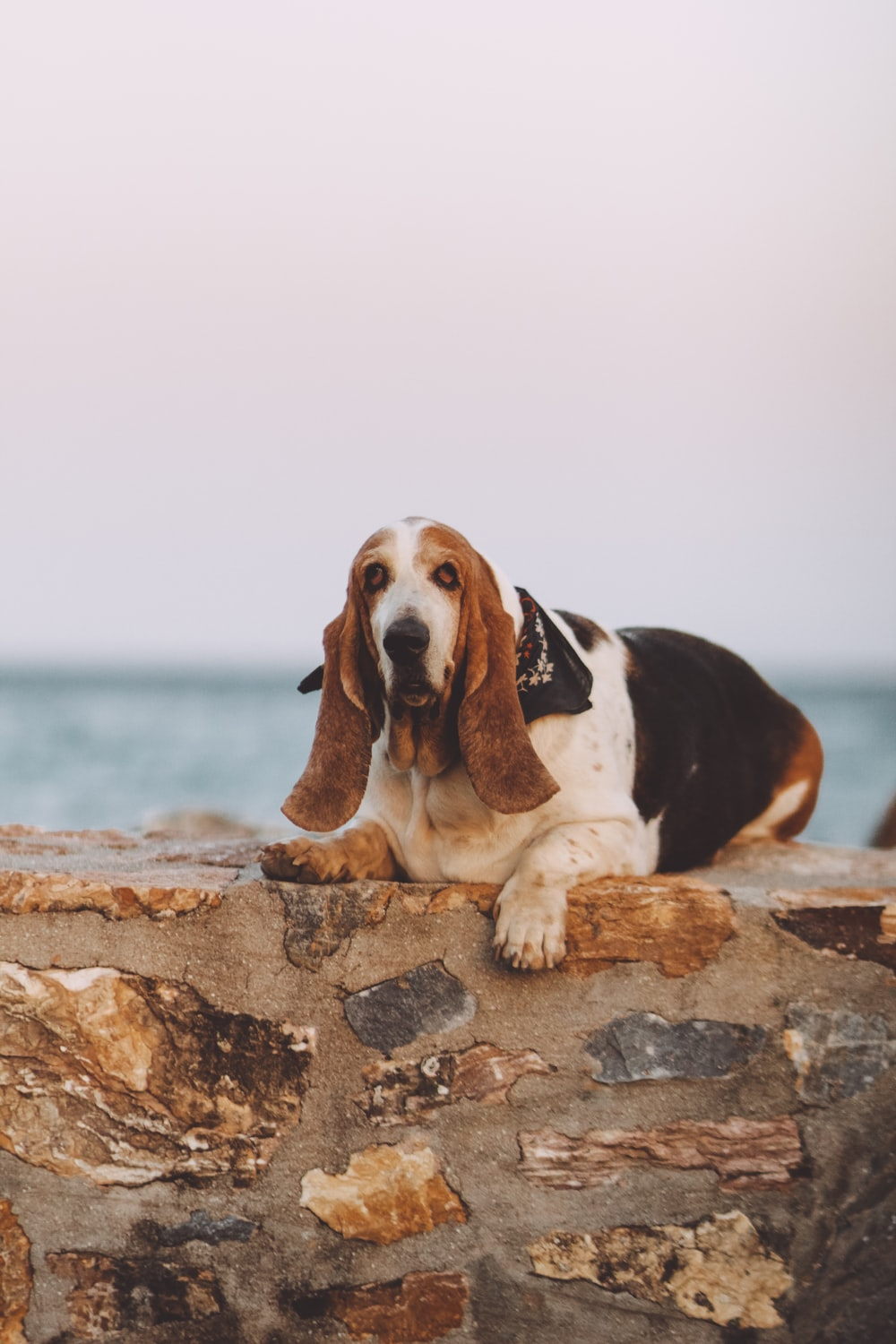 white, black, and white dog lying on brown rock wall