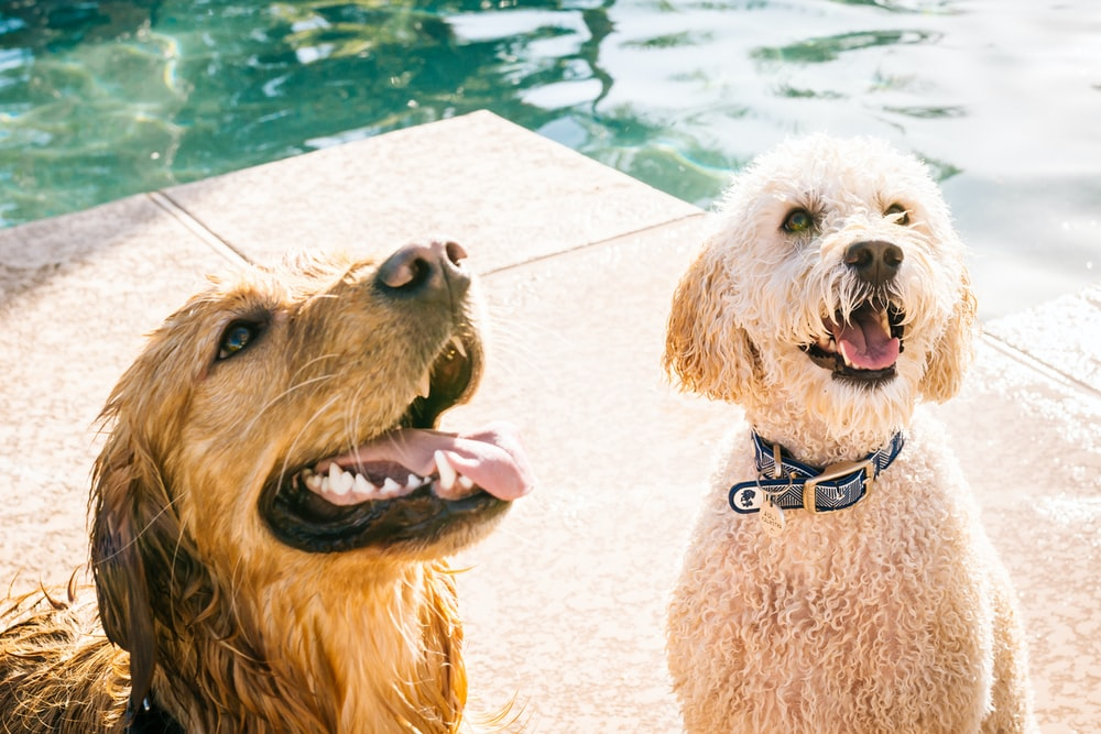 adult poodle and Labrador retriever near body of water