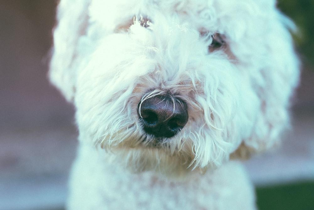 short coated white dog