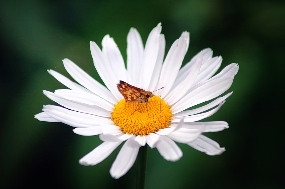brown butterfly on white daisy macro photography